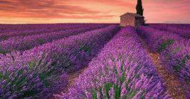 Lavender distilled lavender essential oil from Provence, France